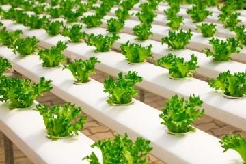Produtor pode controlar a textura, o sabor e o tamanho das hortaliças no cultivo hidropônico